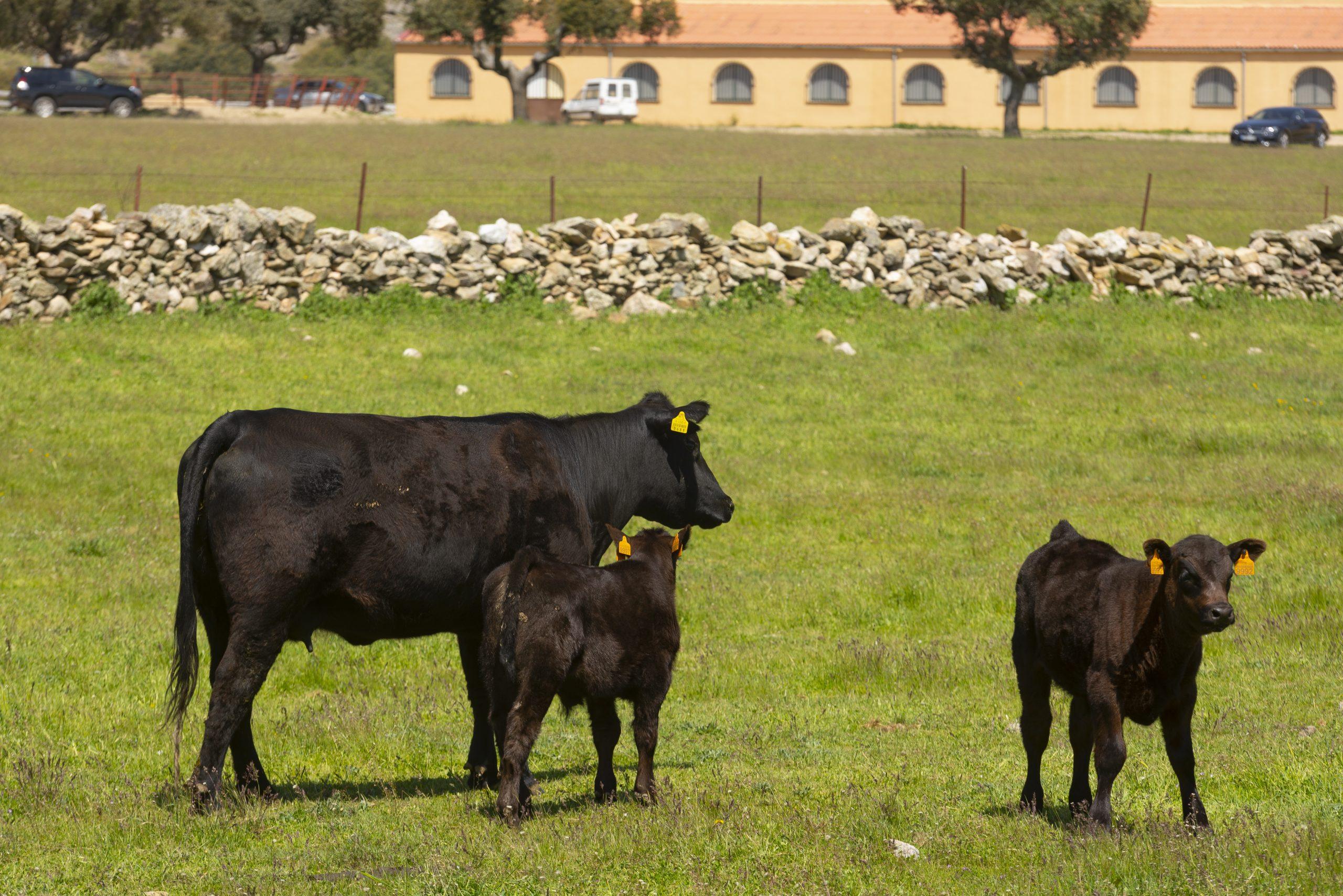 Mejores razas de ganado para carne de vacuno
