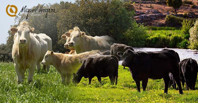 ganado carne de vacuno